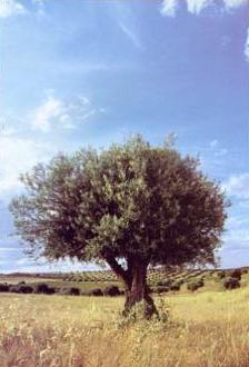 olivo solitario